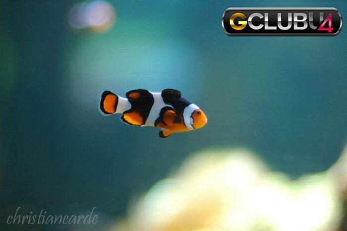 ข้อควรรู้ ในการเล่นเกมยิงปลาสำหรับเพื่อนคนใดก็ตามที่กำลังสงสัยว่าทำไมในปัจจุบันเว็บไซต์ gclub ถึงมี ทางเข้าgclub อยู่หลากหลายช่องทาง